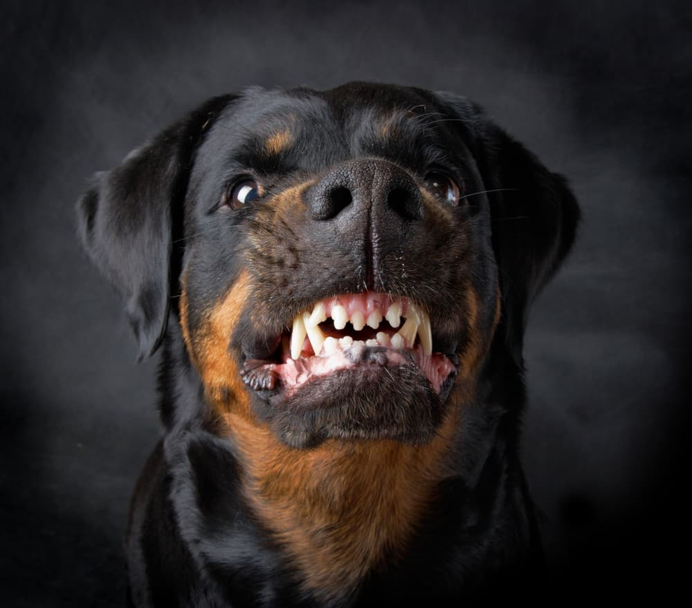 angry dog showing its teeth